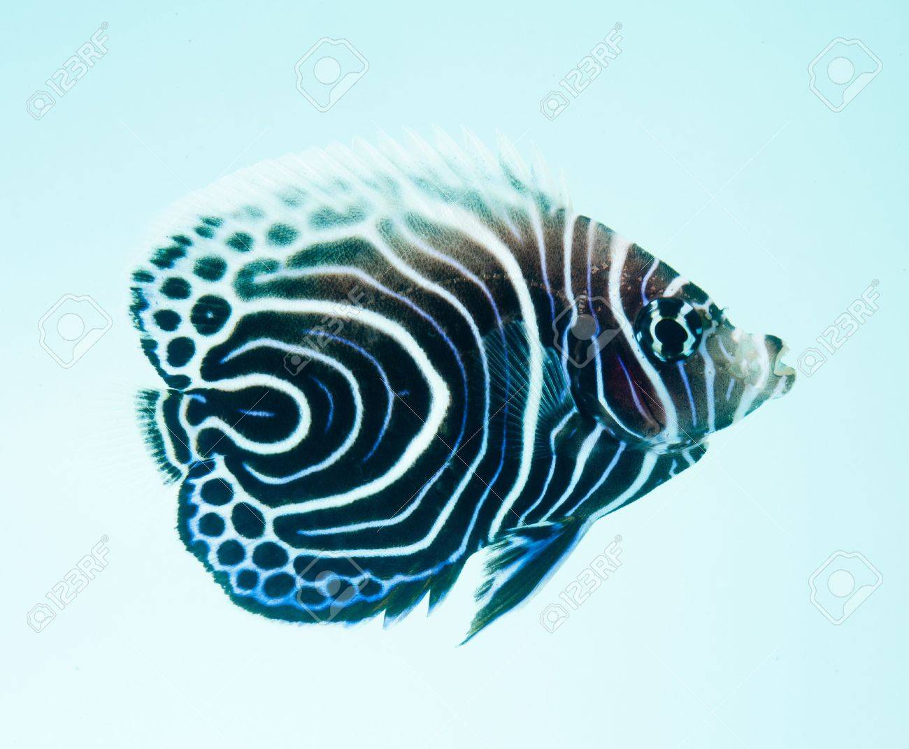 Emperor Angelfish, Pomacanthus Imperator, reef fish Stock Photo - 11261756