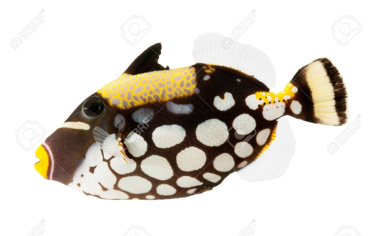 clown triggerfish reef fish isolated on white background stock