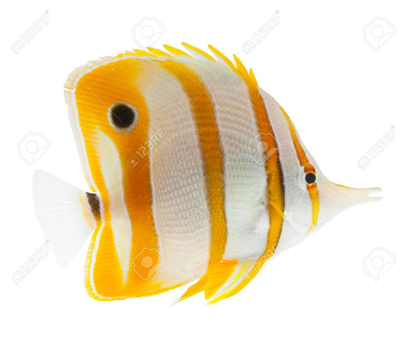 beak coralfish, copperband butterflyfish, isolated on white Stock Photo - 11261773