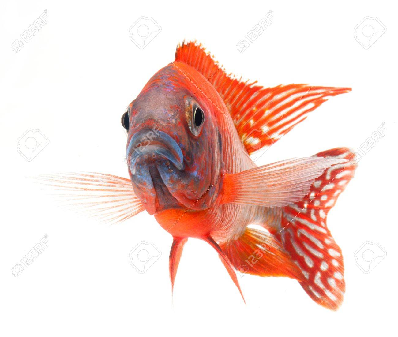 red cichlid fish, ruby red peacock fish, isolated on white background Stock Photo - 11542063