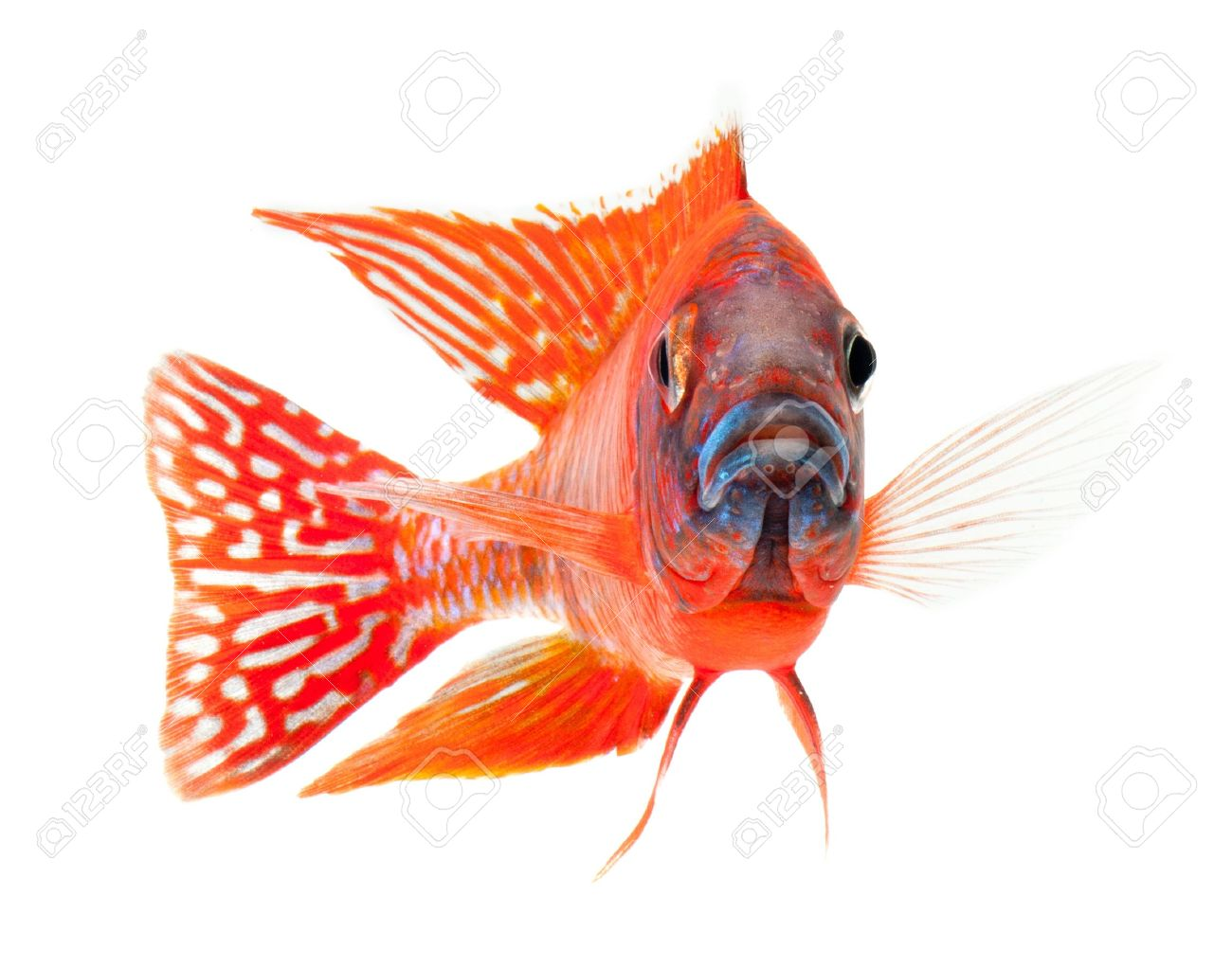 red cichlid fish, ruby red peacock fish, isolated on white background Stock Photo - 11542109