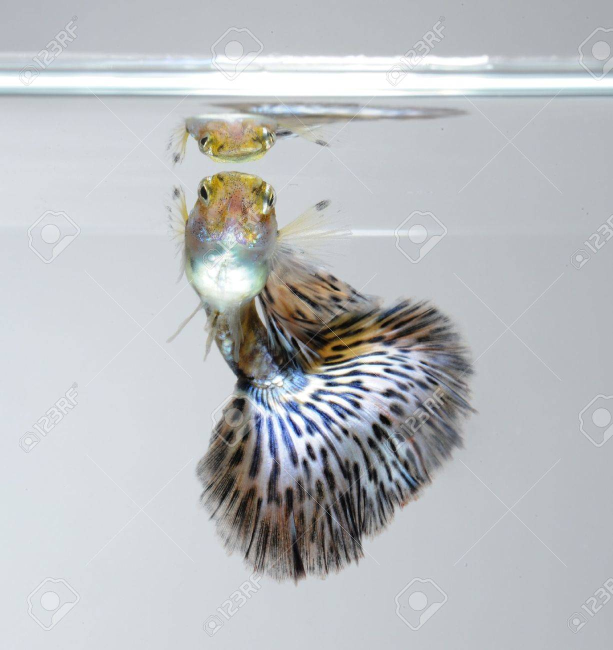 guppy pet fish Stock Photo - 11935216