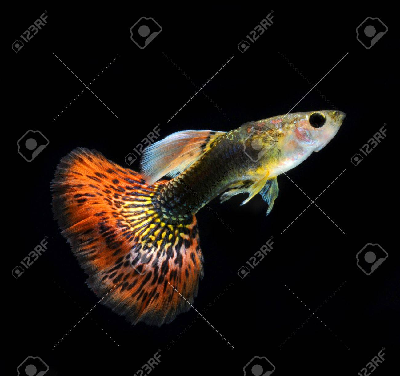 red guppy pet fish Stock Photo - 11935215