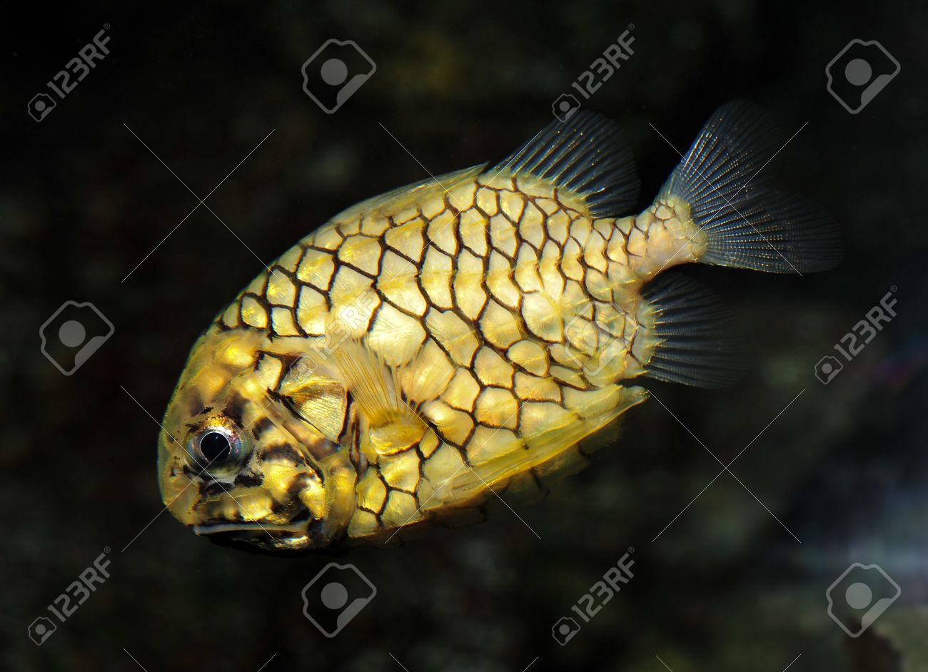marine fish, corral fish, pineapple fish Stock Photo - 12179666