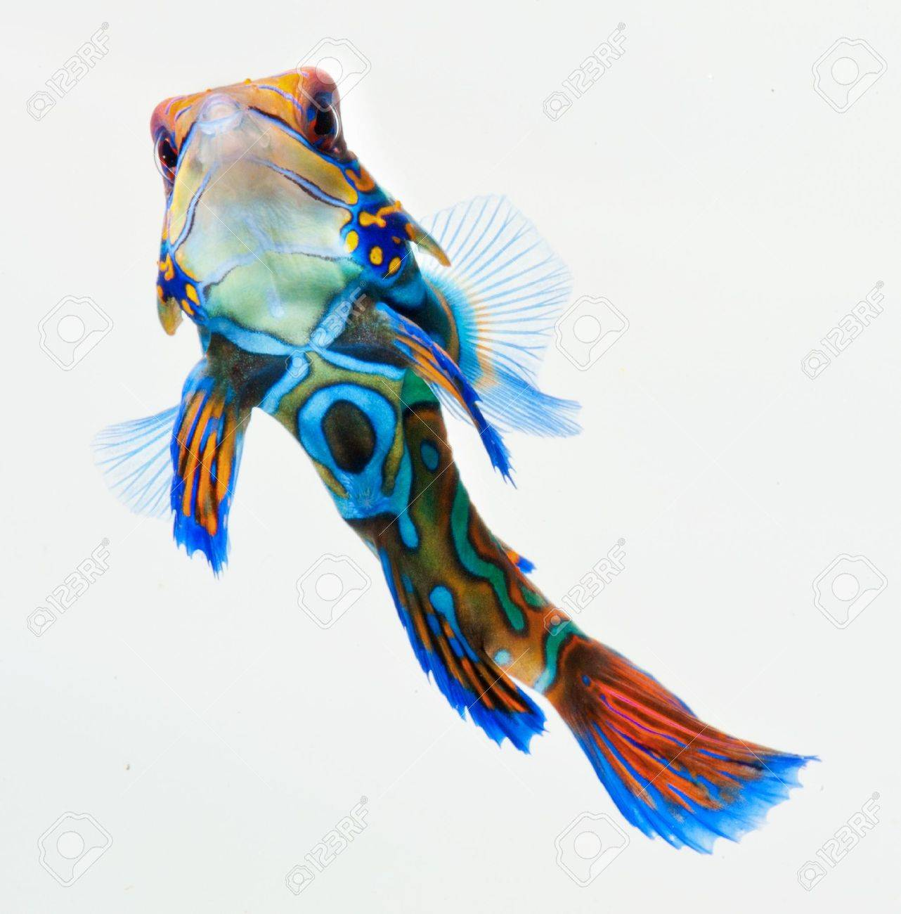 marine fish, reef fish, mandarin  dragonet isolated on white background Stock Photo - 12908875