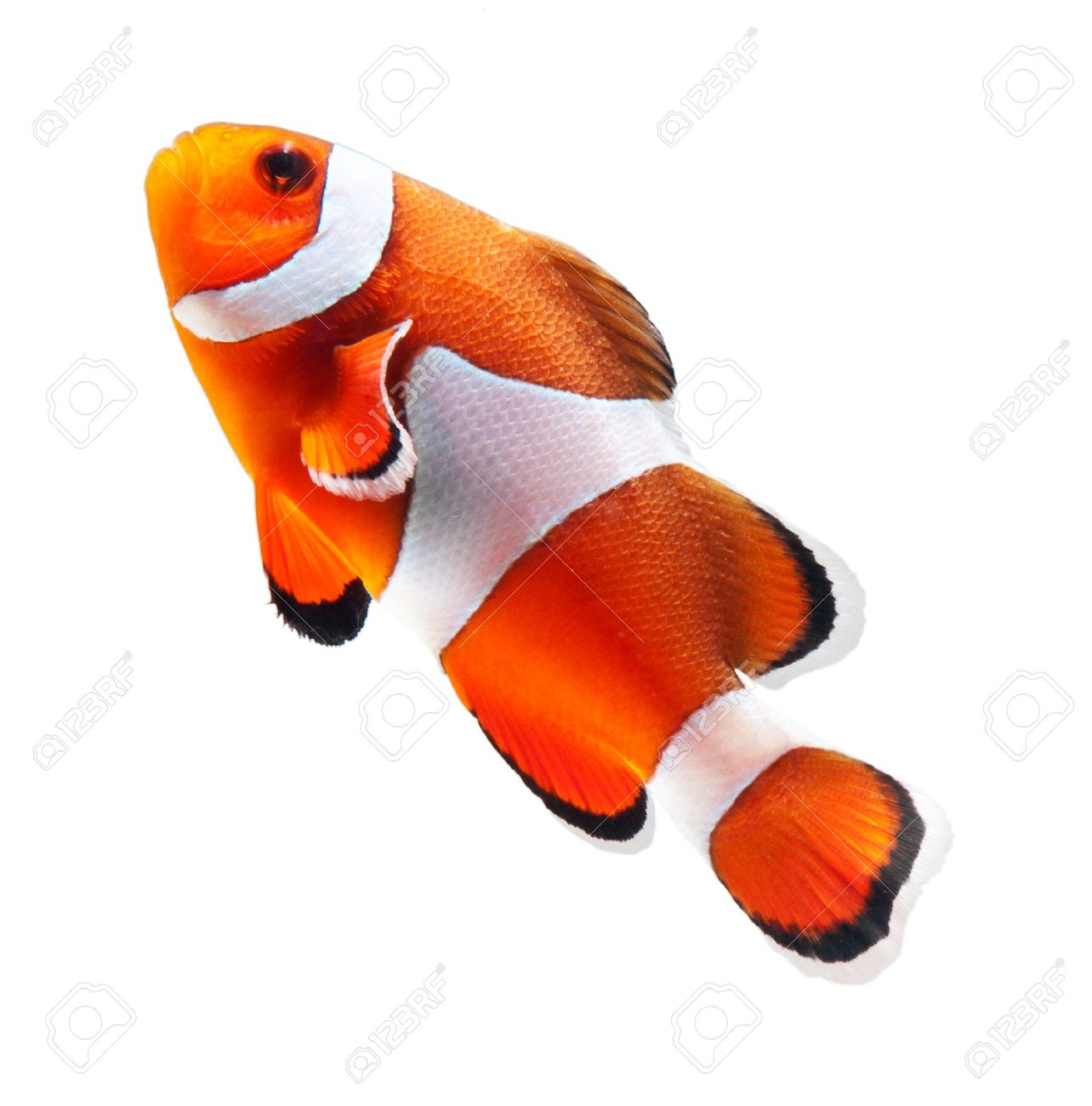 Clown Fish Or Anemone Fish Isolated On White Background Stock Photo ...