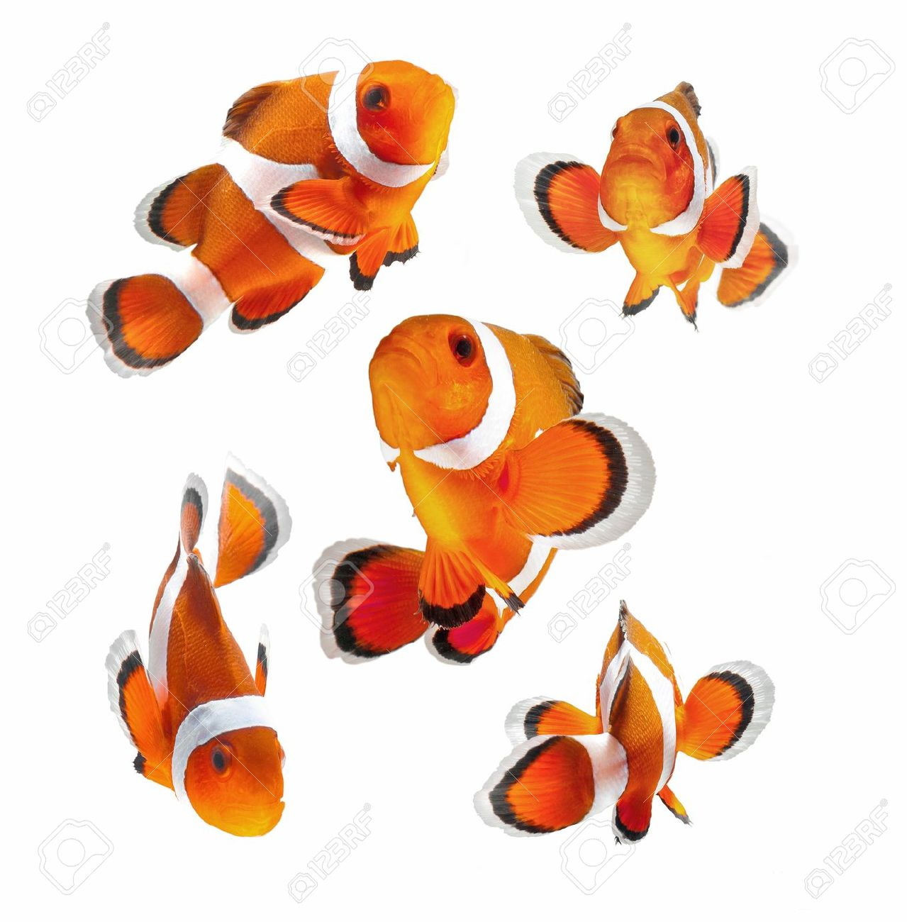 reef fish , clown fish or anemone fish isolated on white background Stock Photo - 13337968