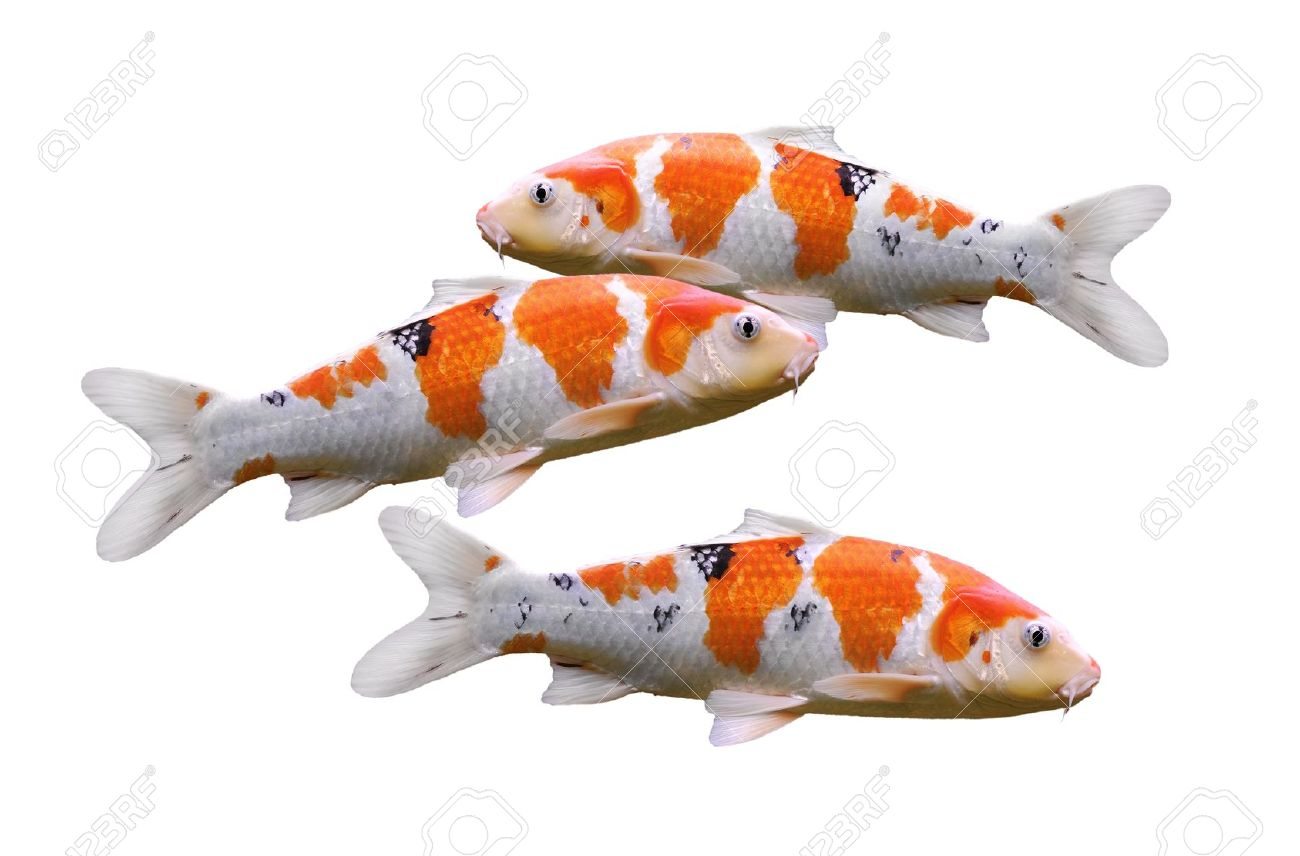 carp fish koi fish isolated on white background stock photo