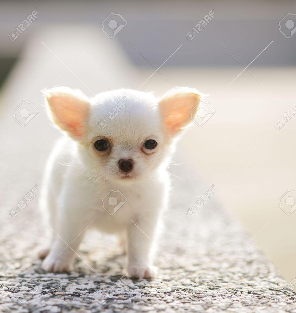white chiwawa puppy Stock Photo - 14398730