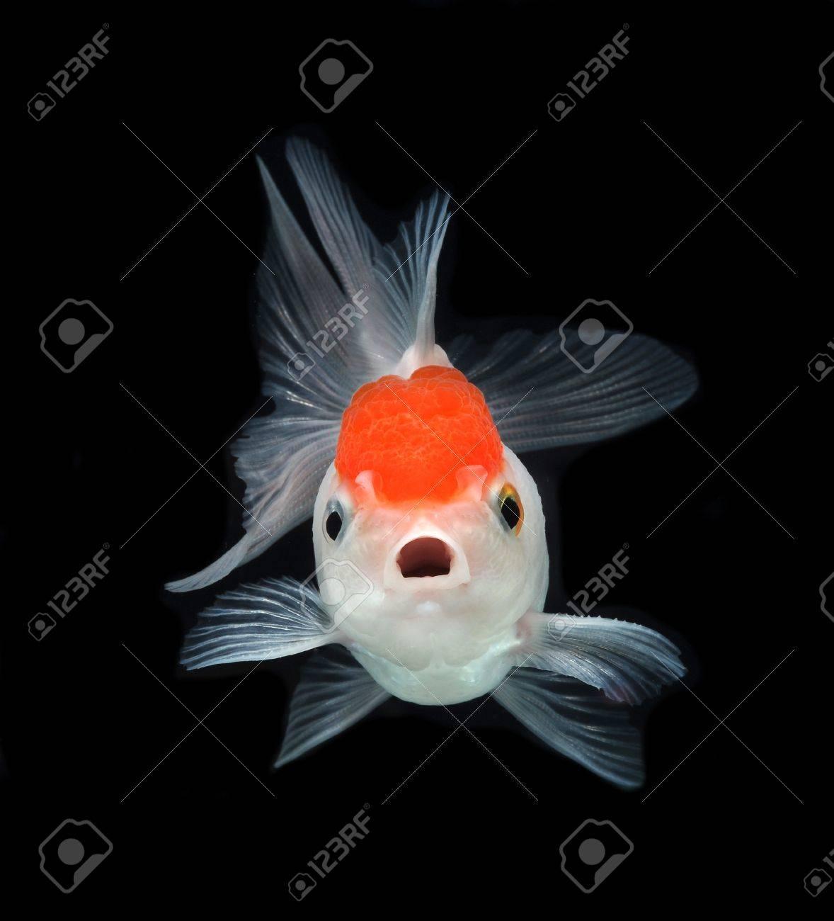 goldfish on black background Stock Photo - 14568537