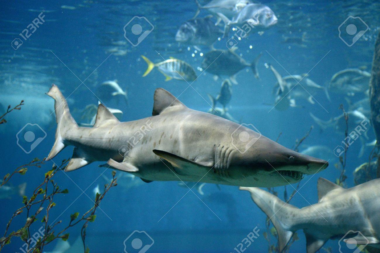 Pez Tiburón El Tiburón Toro Bajo El Agua De Peces Marinos Fotos