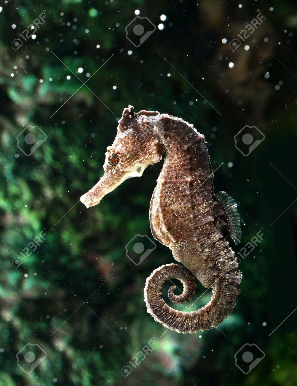 Seahorse Hippocampus Stock Photo Picture And Royalty Free Image Image 14842271