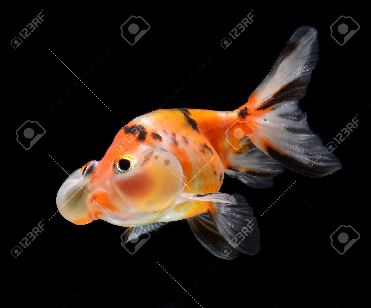 bubble balloon goldfish isolated on black background Stock Photo - 15877821