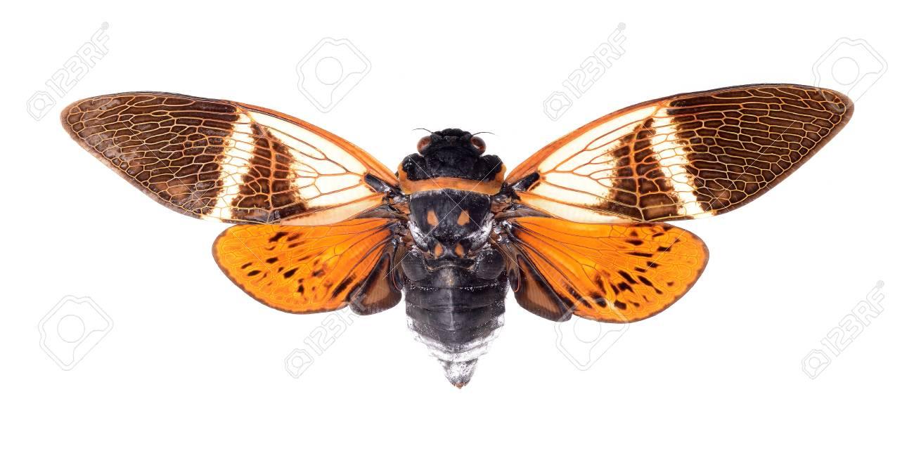 cicada isolated on white background, Anganiana flordula Stock Photo - 17509838
