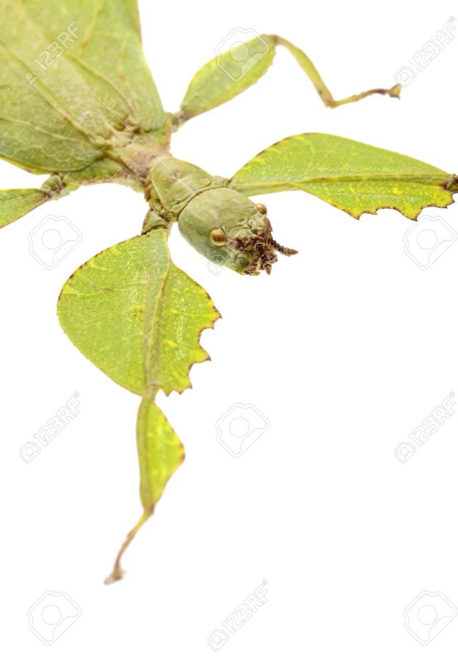 leaf mantis isolated on white background Stock Photo - 17509826