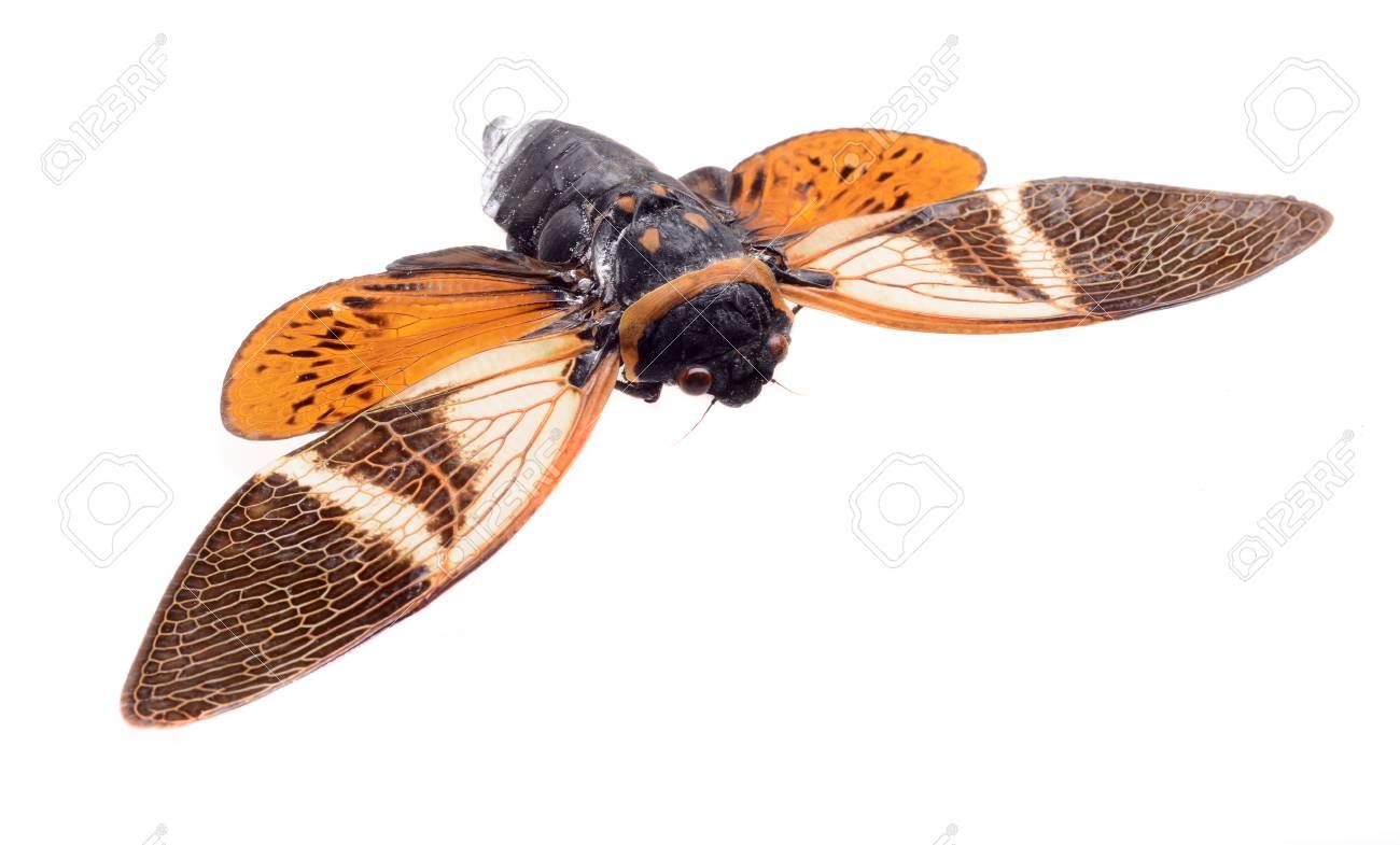 cicada isolated on white background, Anganiana flordula Stock Photo - 18001179