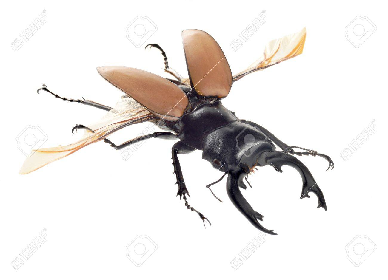insect, beetle, bug, Odontolabis mouhotii parry, isolated on white Stock Photo - 18001174