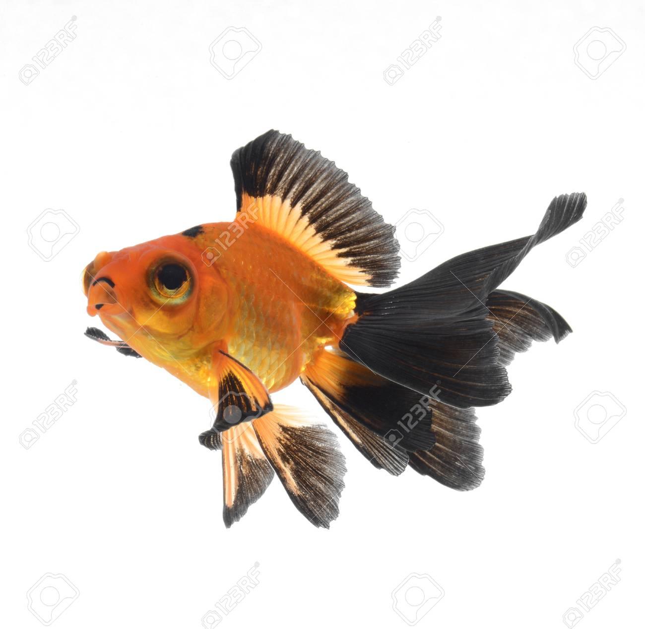 goldfish isolated on white background Stock Photo - 18334152