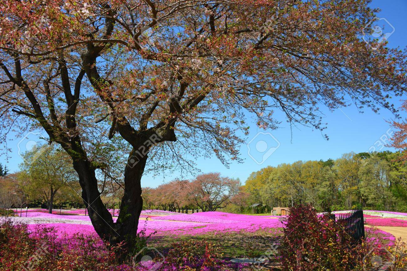 landscape with pink flowers, pink moss, shibazakura, japan, tokyo Stock Photo - 19807189