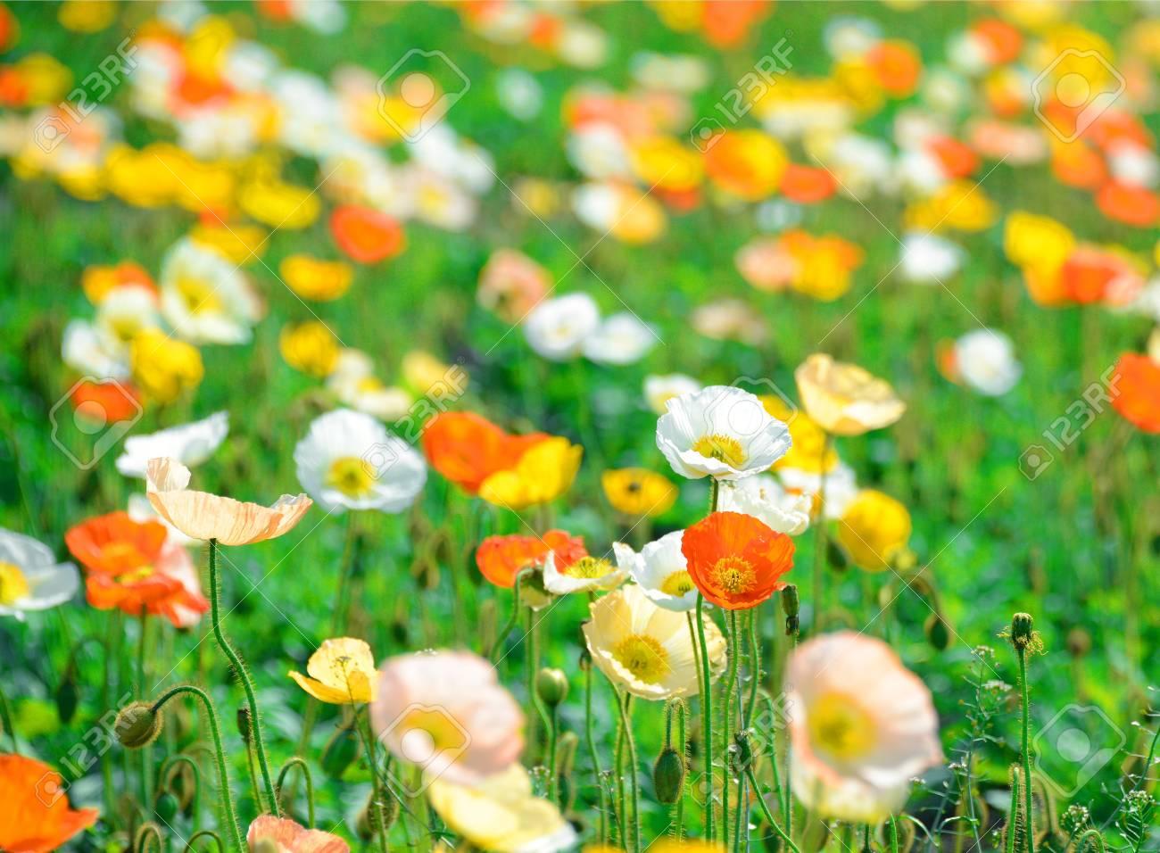 poppy flower field in spring Stock Photo - 19807185