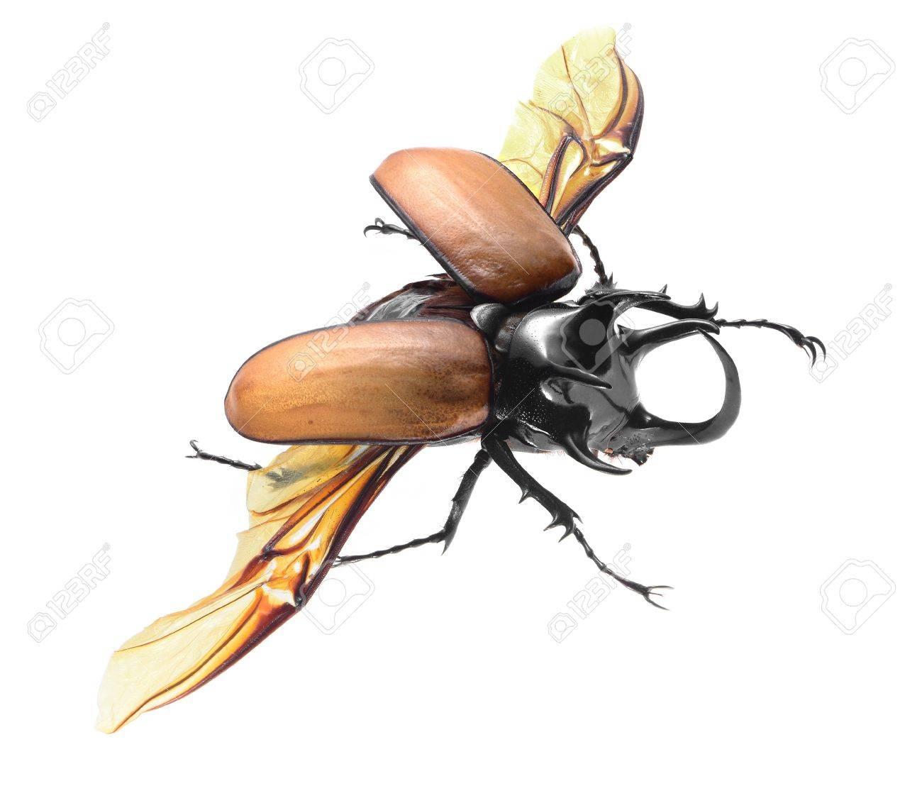 5-Horned Rhinoceros Beetle, Eupatorus gracilicornis beetle isolated on white Stock Photo - 21020149