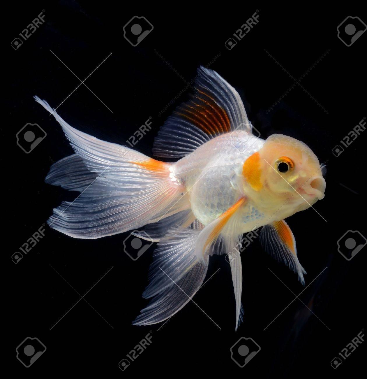 fancy goldfish isolated on black background Stock Photo - 21097290
