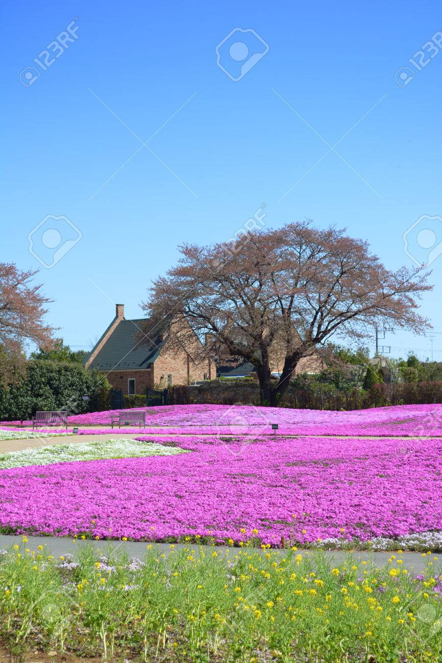 Landscape With Pink Flowers Pink Moss Shibazakura Stock Photo