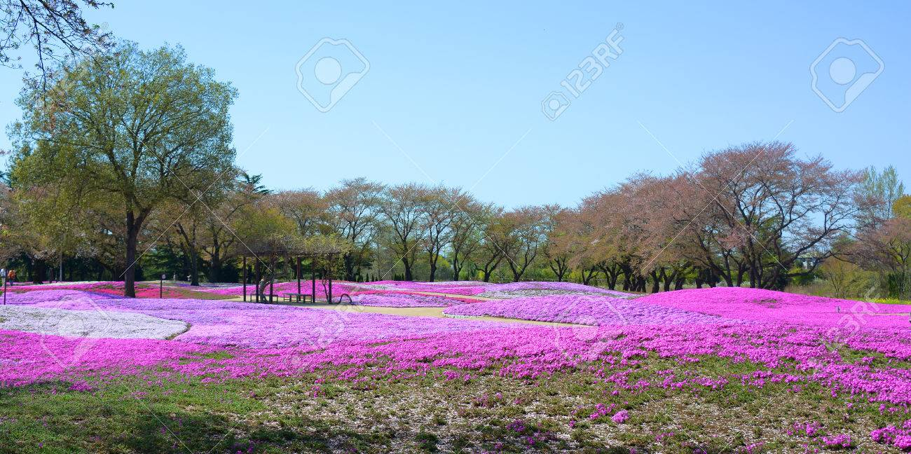 landscape with pink flowers, pink moss, shibazakura Stock Photo - 22975068