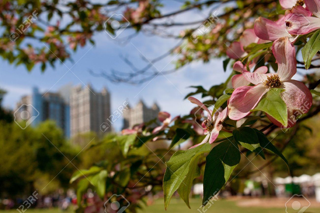 Las Flores De Color Rosa De Un árbol De Cornejo En Piedmont Park ...