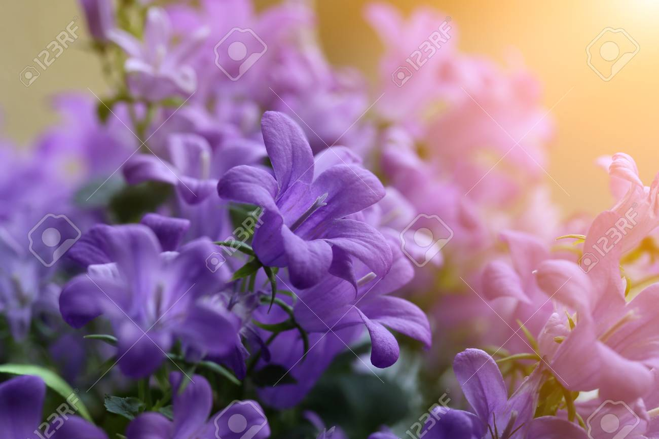 They are campanula these are beautiful flowers which look nice stock photo they are campanula these are beautiful flowers which look nice at home izmirmasajfo