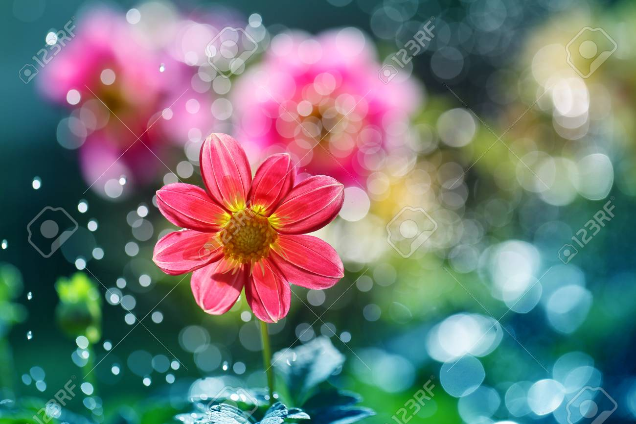 Dahlia Is A Perennial Plant Which Possess Underground Tubers