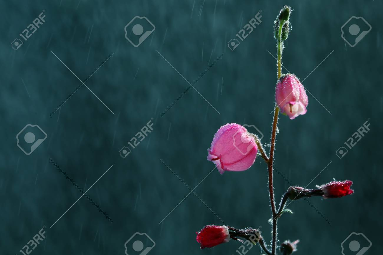 Pink Flowers Resemble Small Lantern Is A Perennial Plant Stock