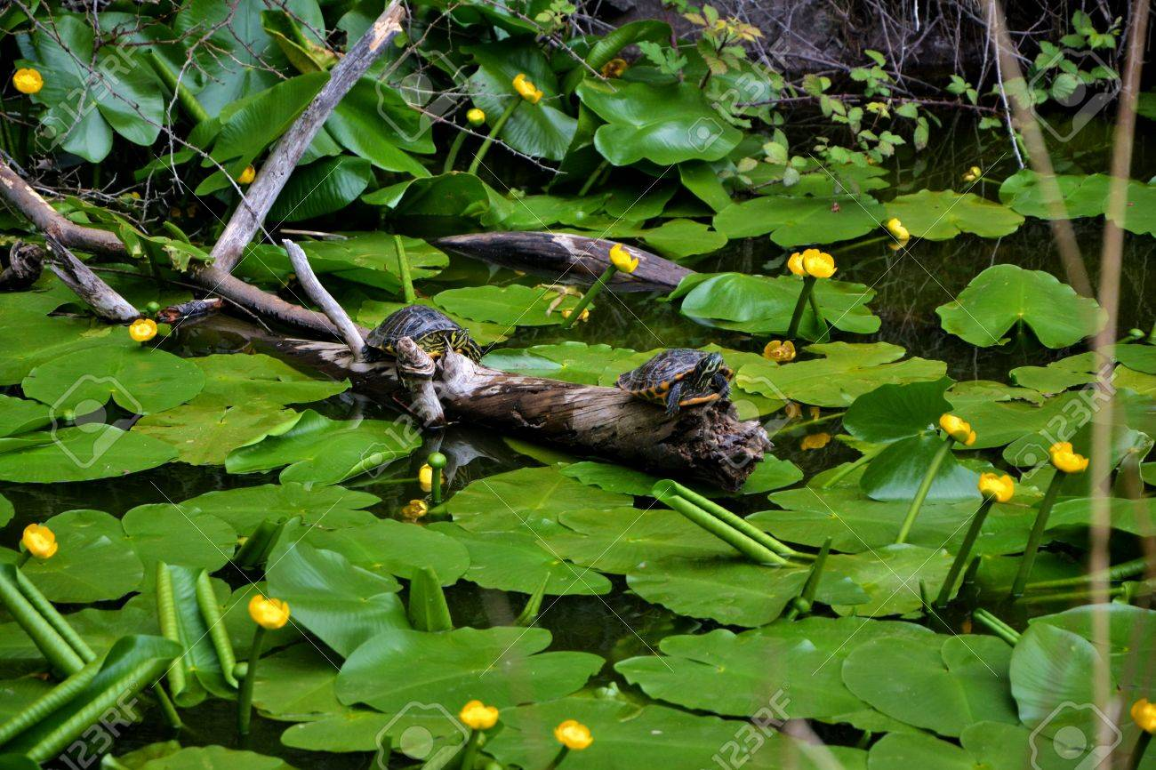 Water turtles Stock Photo - 58957664