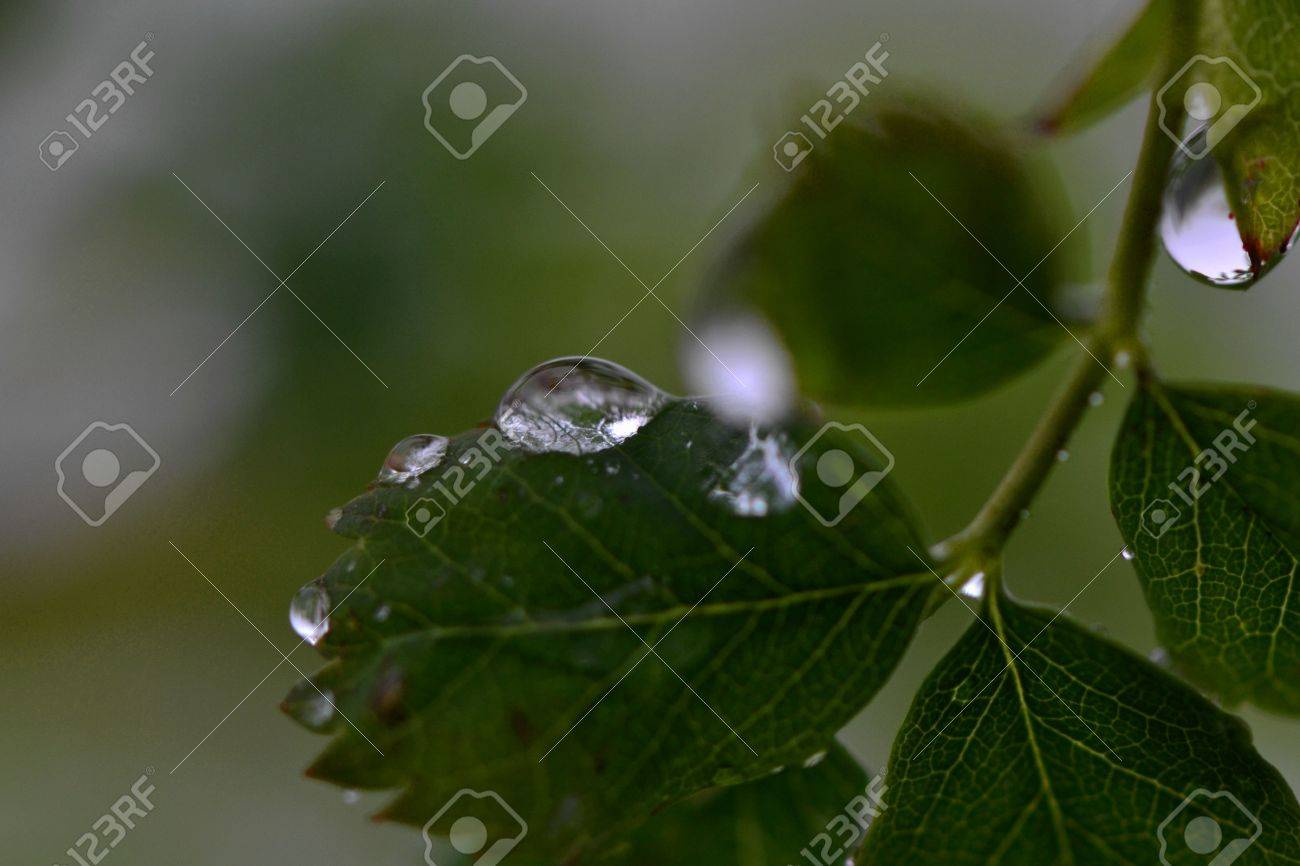 raindrops on the leaves Stock Photo - 60298569