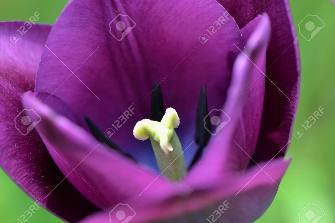 purple tulip Stock Photo - 60508253