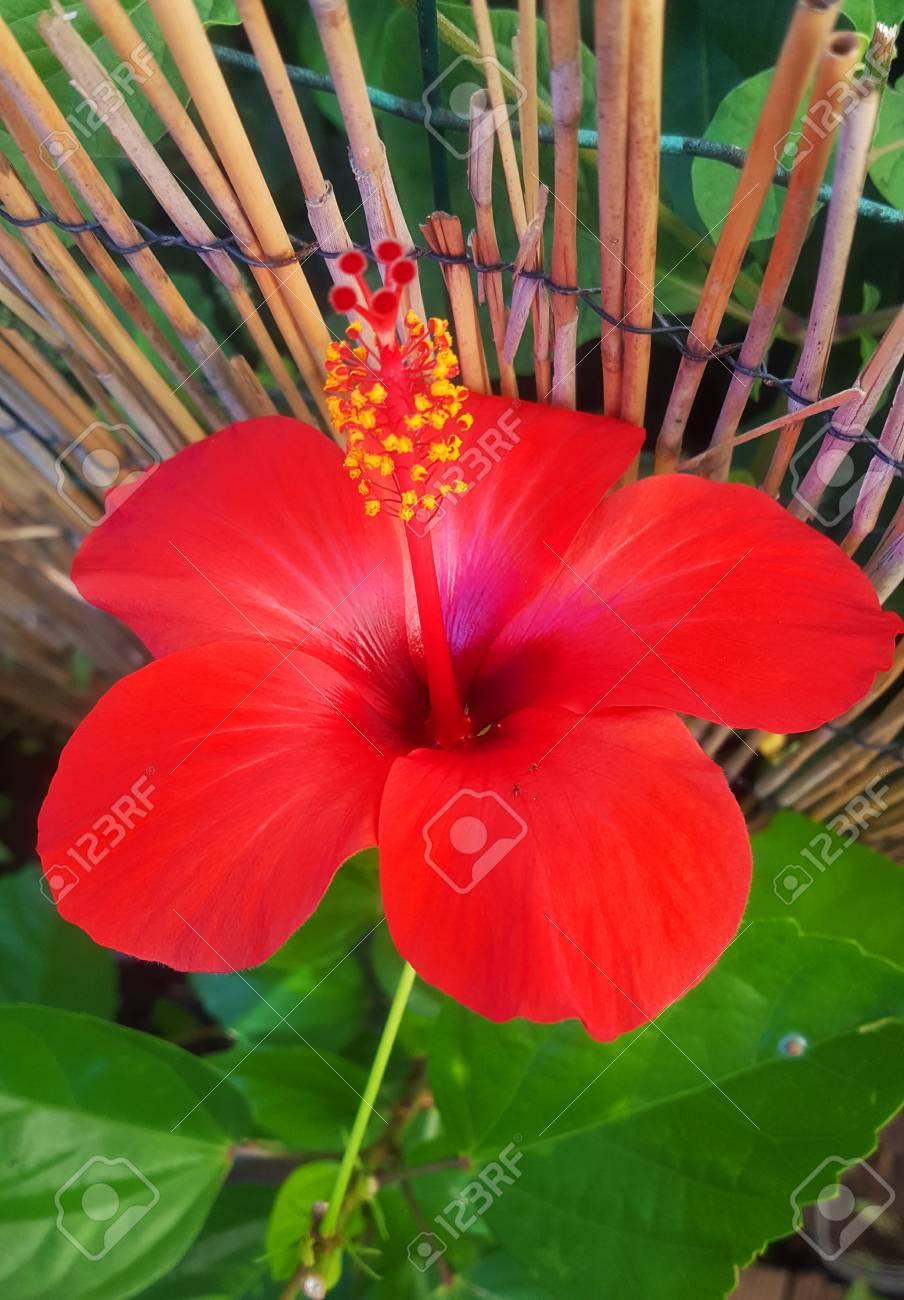 Red Hibiscus Bloom Stock Photo - 68035499