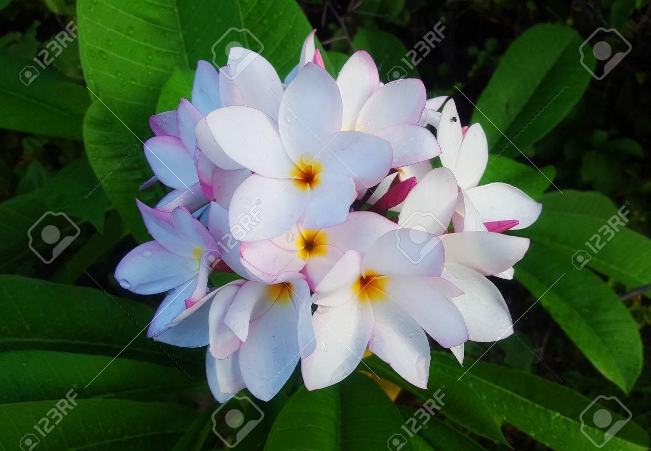 White Plumerias Exotic Flowers Bouquet Stock Photo - 71014427