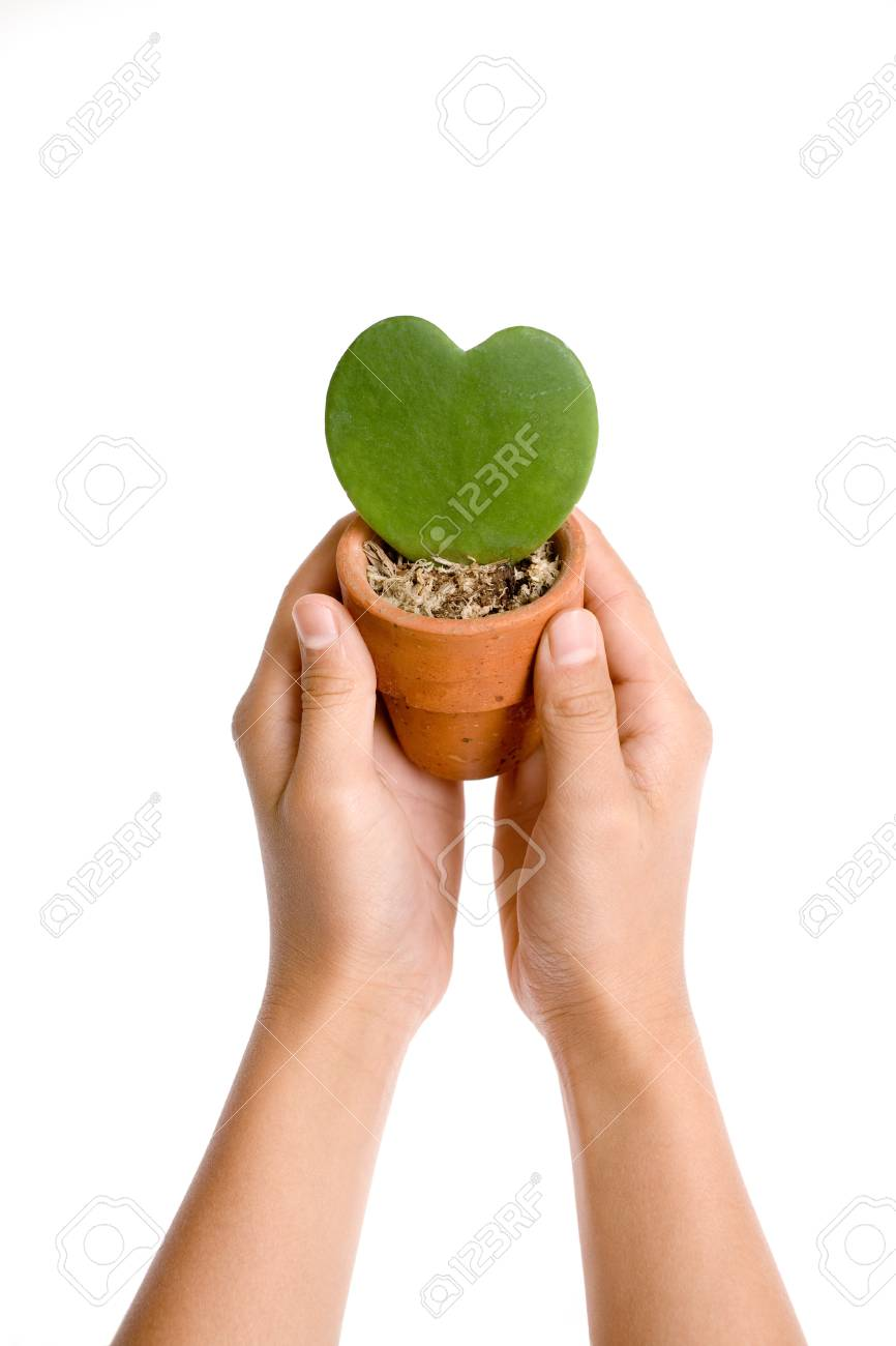 Heart shape plant in hand on white background Stock Photo - 9679274