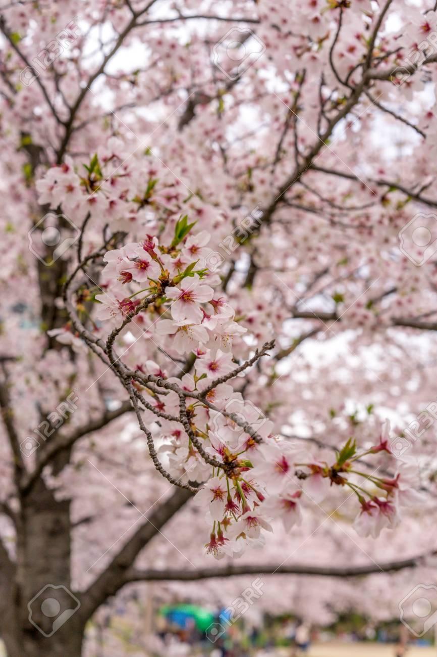 Sakura Arbre Fleur De Cerisier Dans Sakuranomiya Parc Osaka