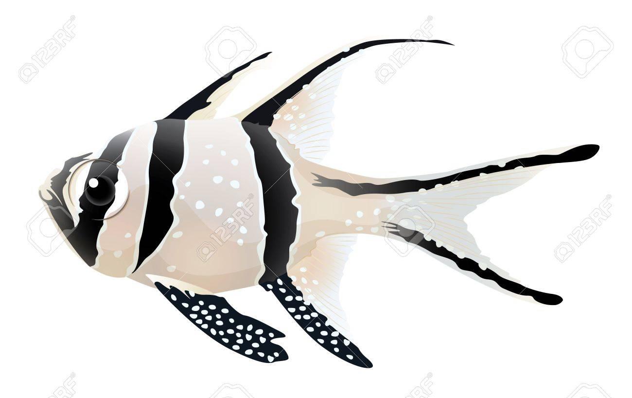 Illustration of a Banggai cardinalfish - Pterapogon kauderni Stock Vector - 15914862