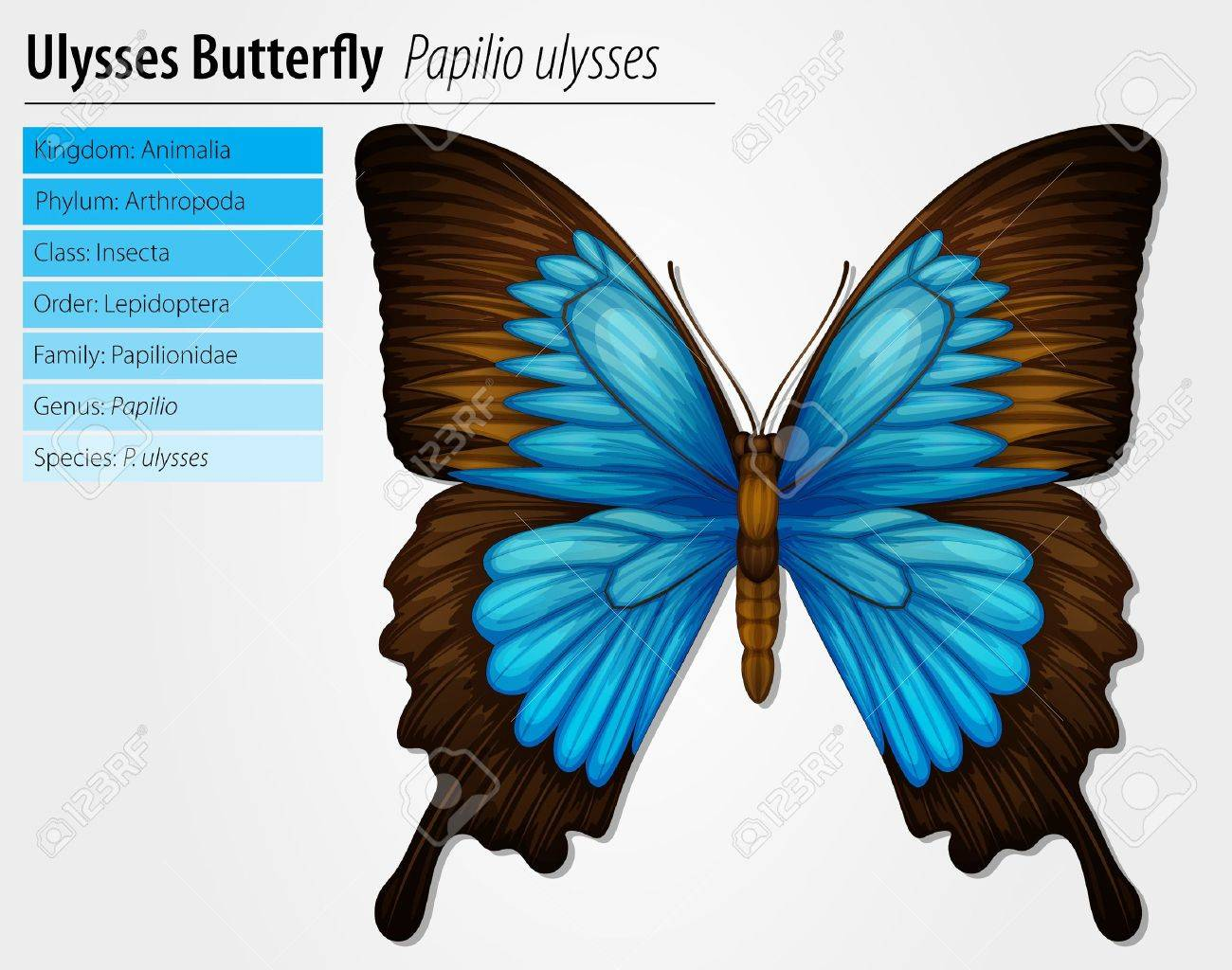 Blue Mountain Swallowtail butterfly - Papilio ulysses Stock Vector - 15915242