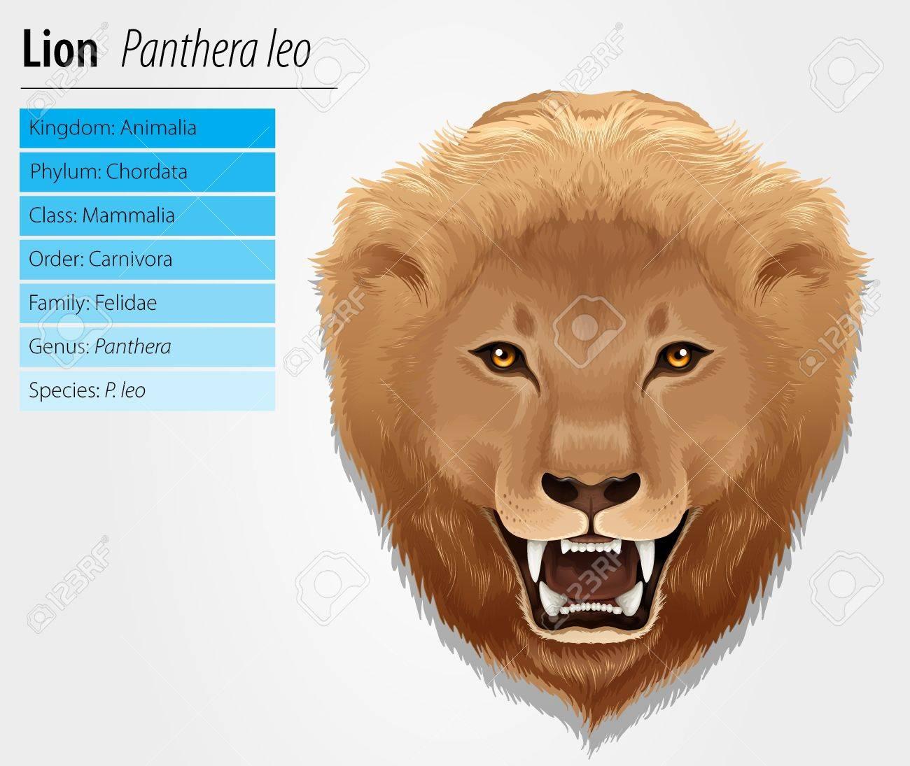 Illustration of a lion - Lion - Pathera leo Stock Vector - 15915232