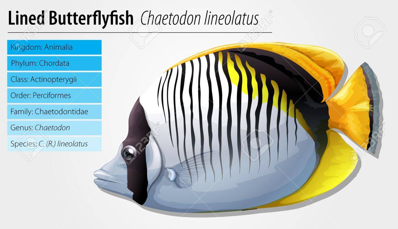Lined butterflyfish - Chaetodon lineolatus Stock Vector - 15915226