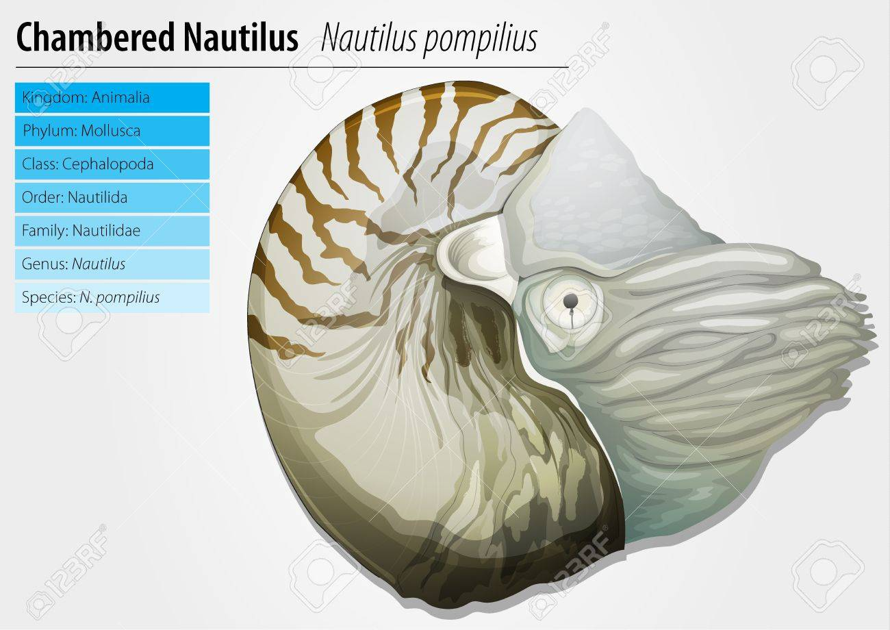 Illustration Of A Chambered Nautilus - Nautilus Pompilius Royalty ...