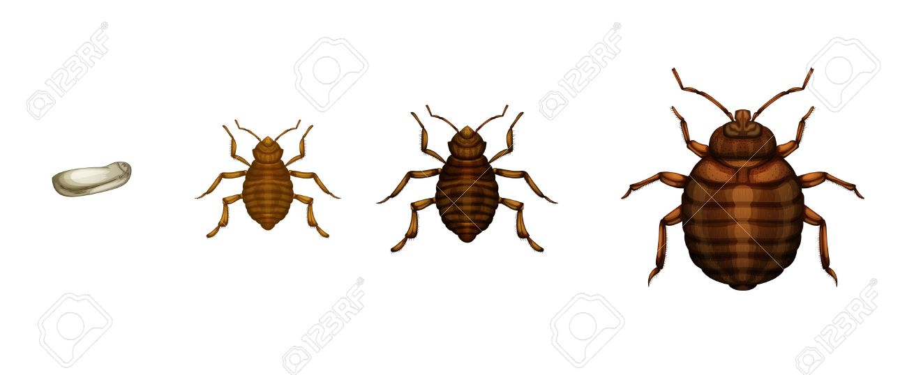 Illustration Of The Bed Bug Life Cycle On A White Background Royalty