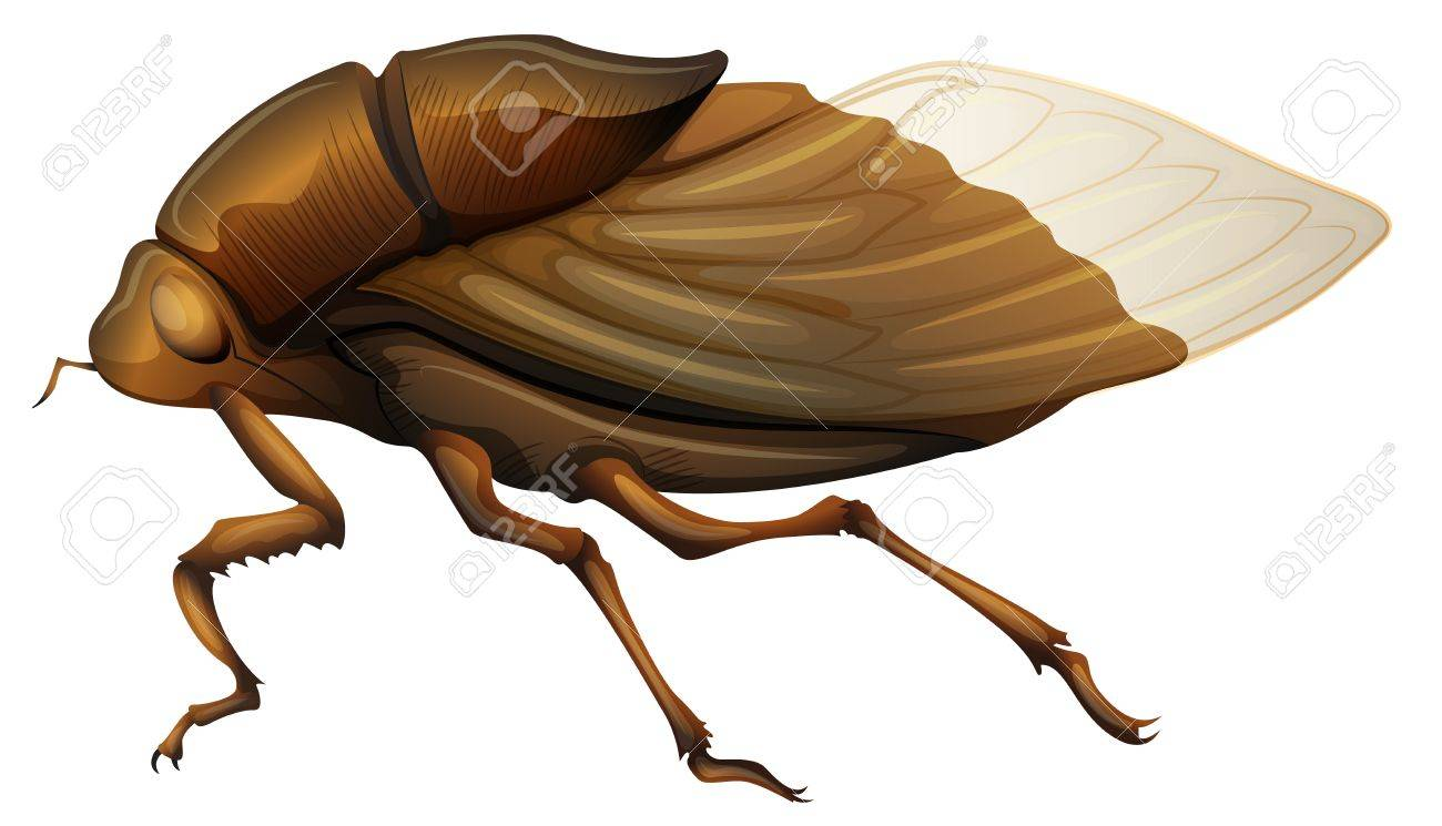 Illustration of a Cicadidae on a white background Stock Vector - 16053300