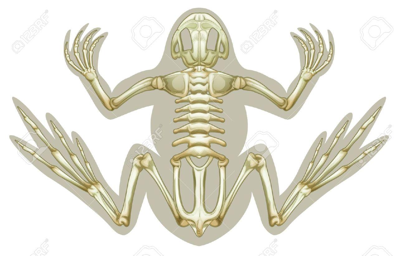 Illustration Von Einem Frosch Skelett-Systems Auf Einem Weißen ...
