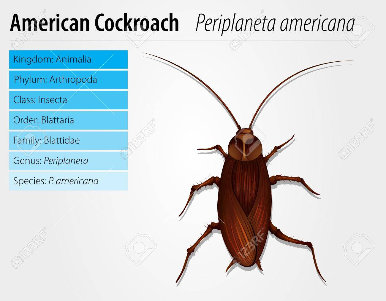 Illustration Of A Periplaneta Americana On A White Background ...