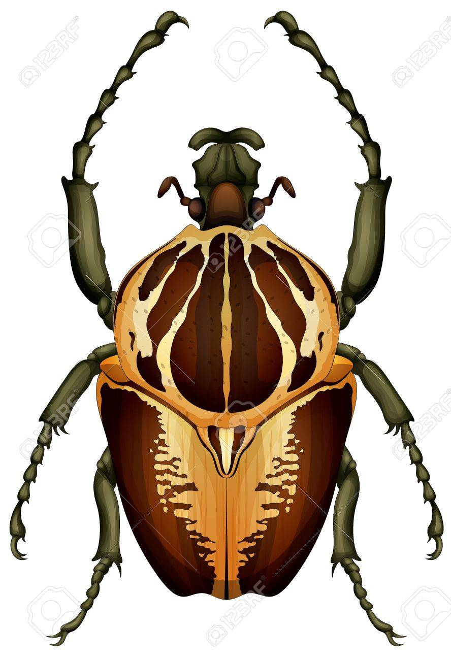 Illustration of a Goliathus regius beetle on a white background - 16053285