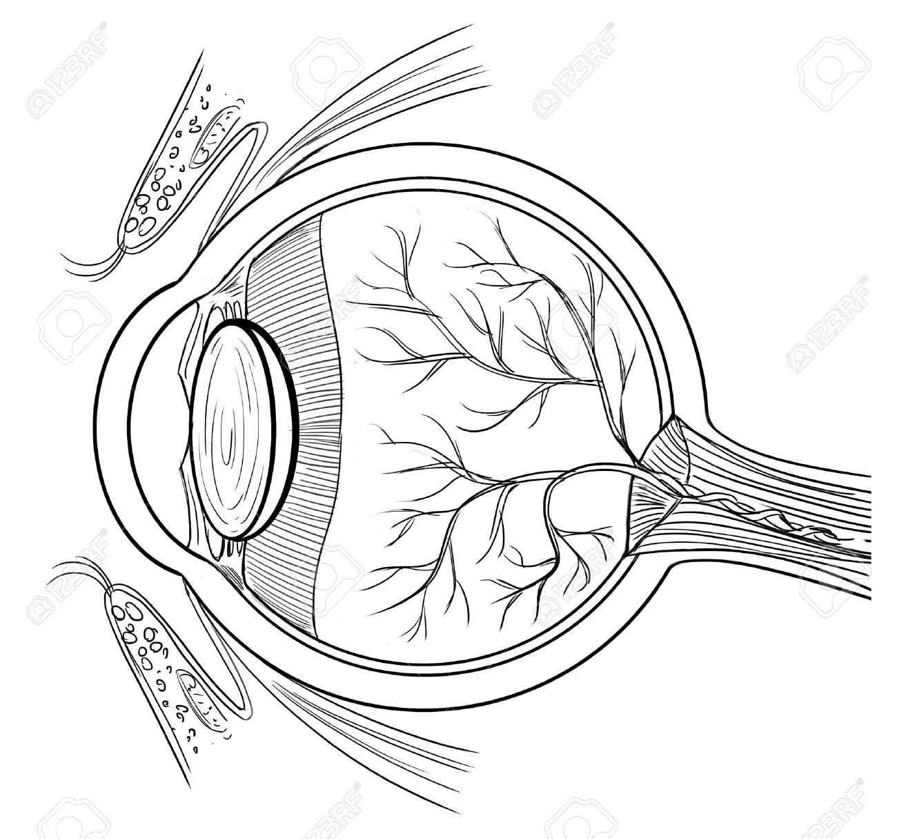 Outline illustration of the human eye anatomy Stock Vector - 16214862